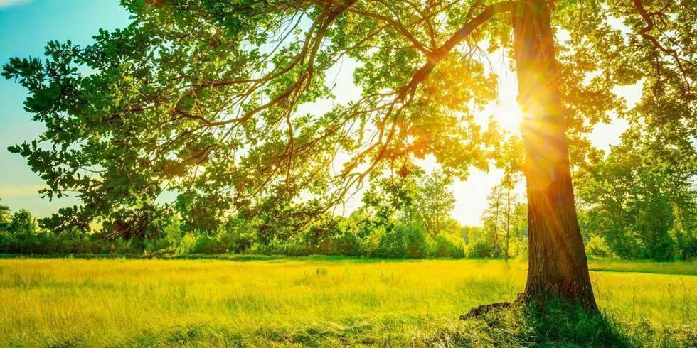 שמש מציצה בין ענפי עץ ירוק